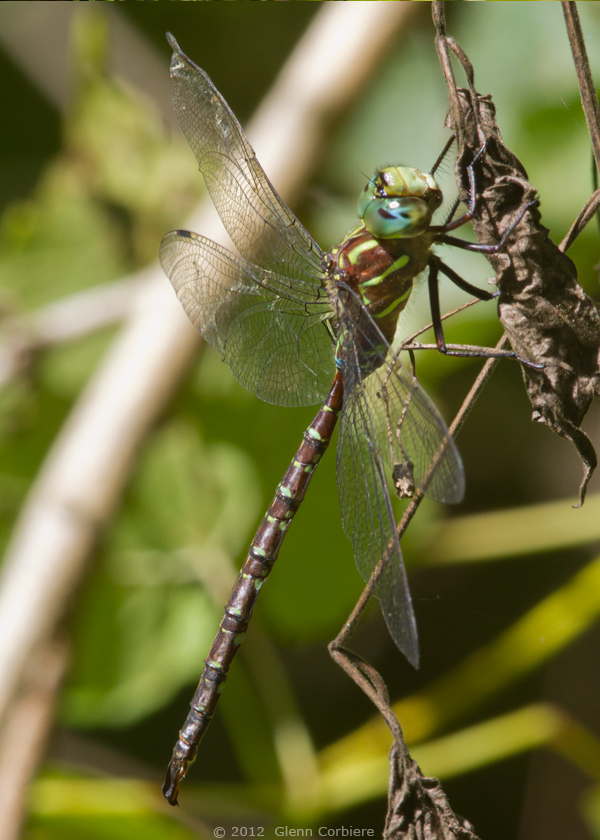 Aeshna umbrosa (Shadow Darner), male, at Chester, Hampden County, MA.