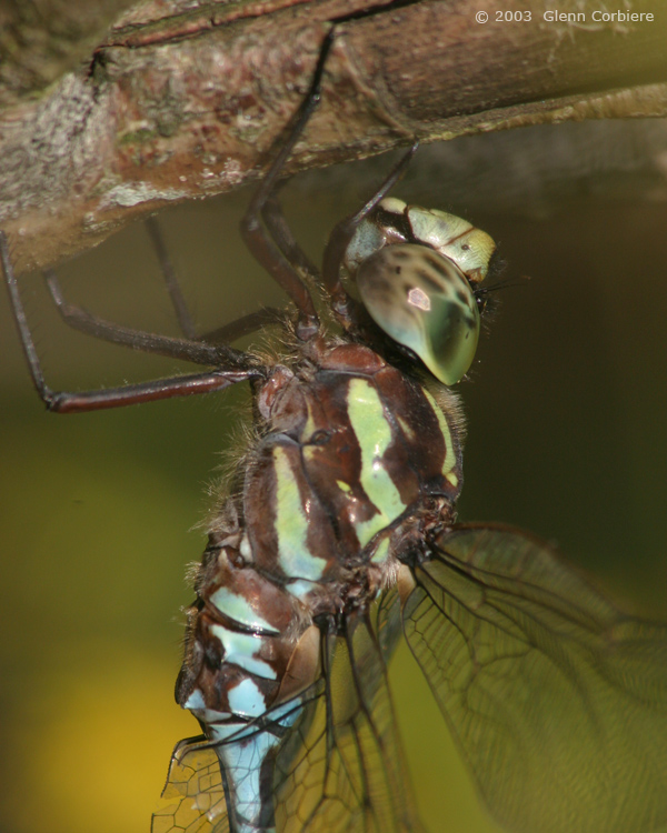 Aeshna verticalis (Green-striped Darner), male, at Ludlow, Hampden County, Massachusetts.