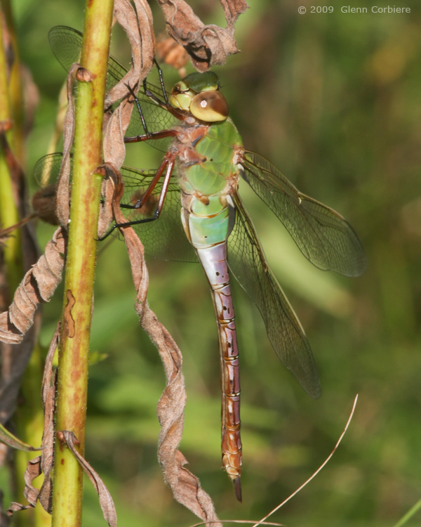 Anax junius (Common Green  Darner), female
