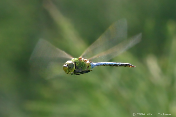 Anax Junius (Common Green Darner), male