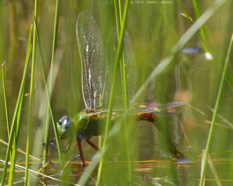 Anax longipes (Comet Darner), ovipositing female