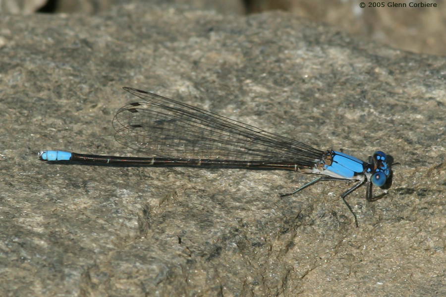 Argia apicalis (Blue-fronted Dancer), male