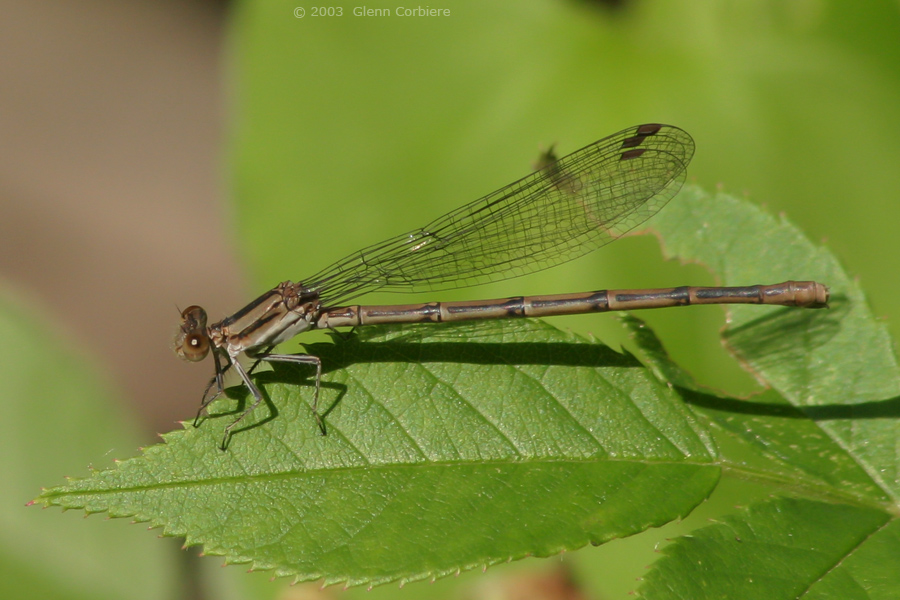 Argia fumipennis violacea(Violet Dancer), female