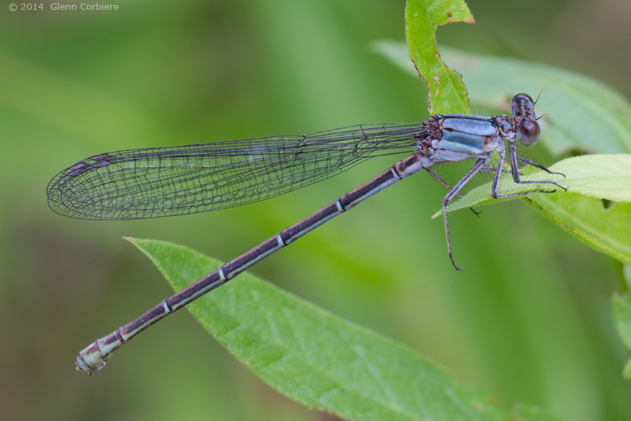 Argia moesta (Powdered Dancer), female - blue form