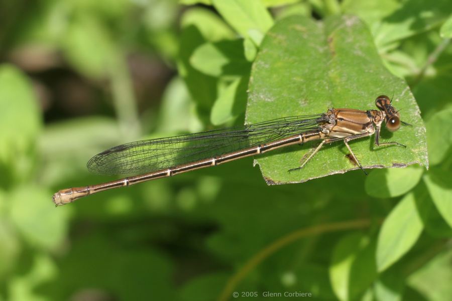 Argia moesta (Powdered Dancer), female - brown form