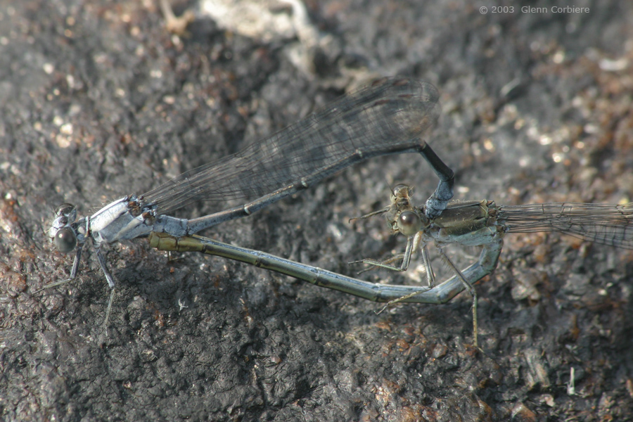 Argia moesta (Powdered Dancer), mating pair