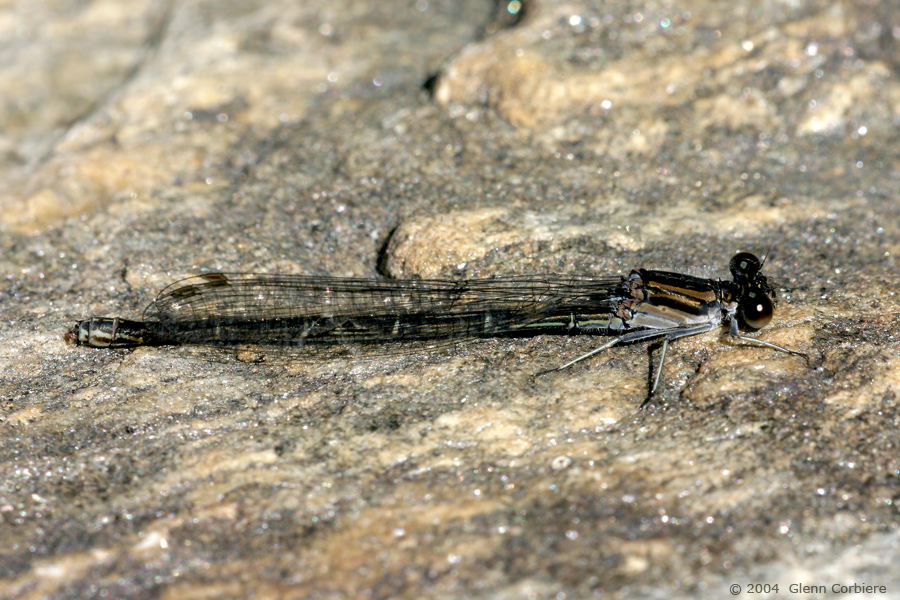 Argia translata (Dusky Dancer), female