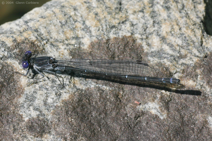 Argia translata (Dusky Dancer), male
