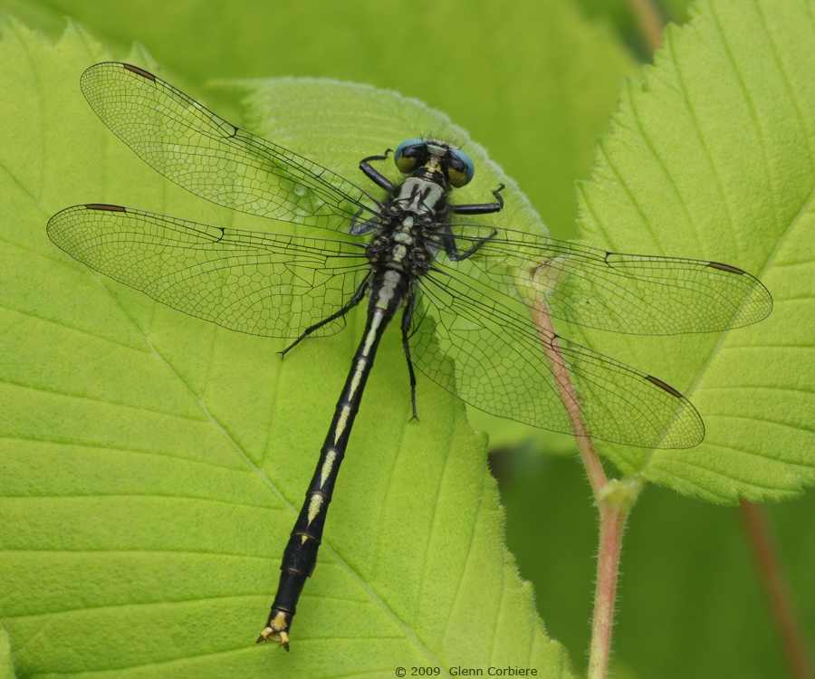 Arigomphus villosipes (Unicorn Clubtail), male