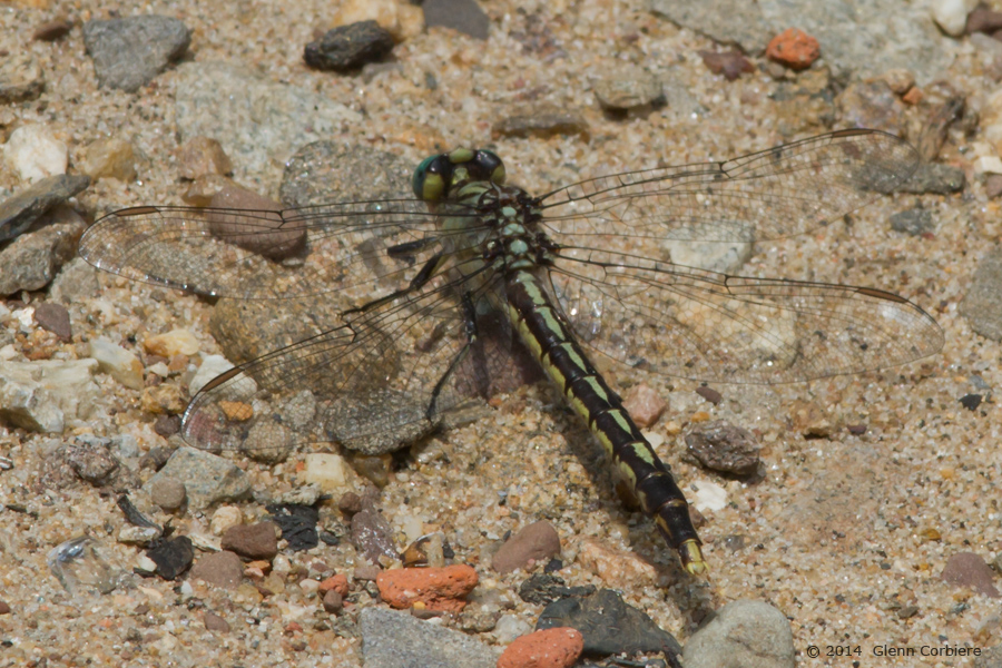 Arigomphus villosipes (Unicorn Clubtail), female