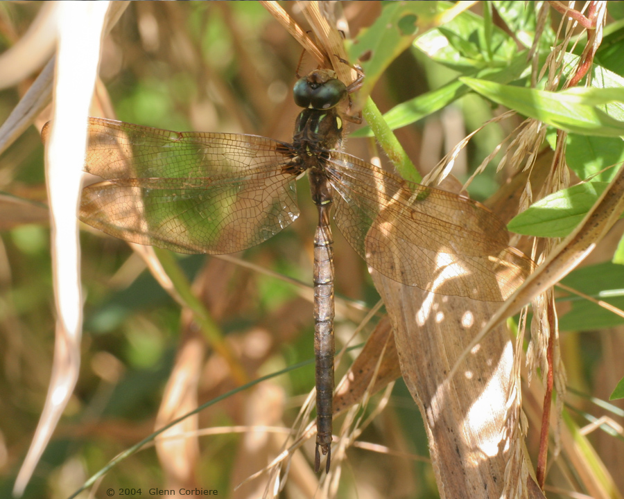 Boyeria grafiana (Ocellated Darner), male