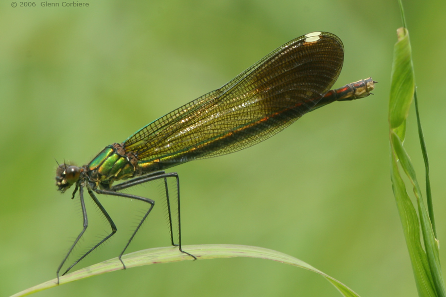 Calopteryx aequabilis (River Jewelwing), female