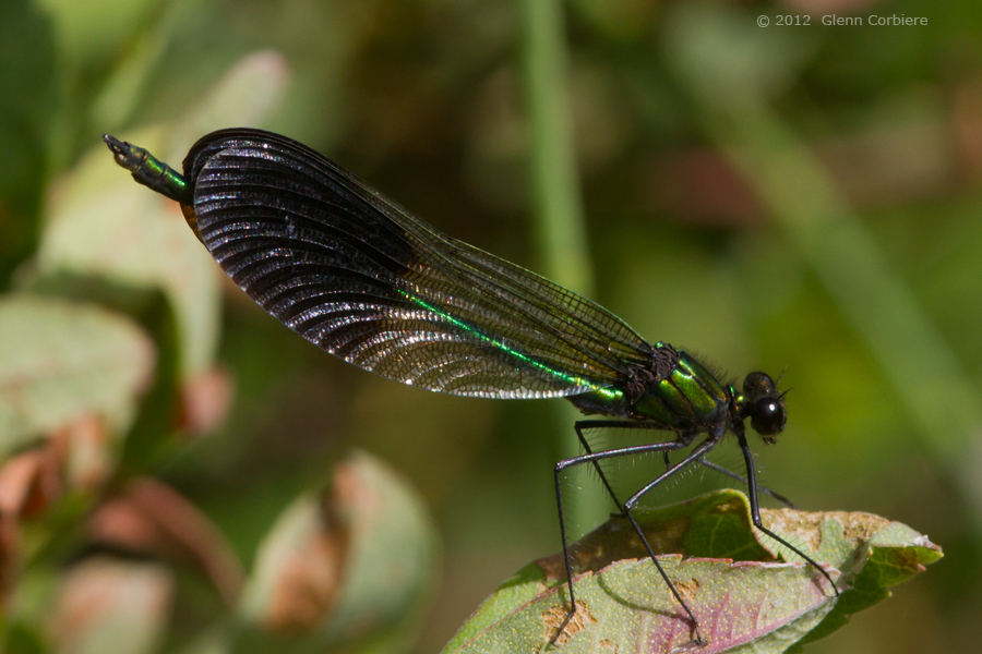 Calopteryx aequabilis (River Jewelwing), male