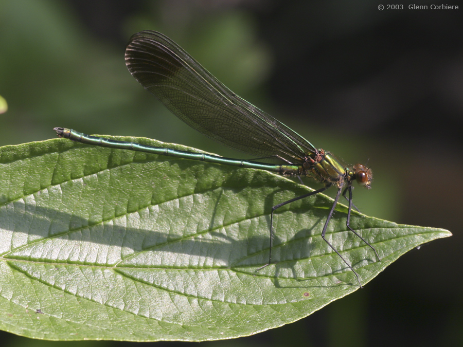 Calopteryx maculata (Ebony Jewelwing), male