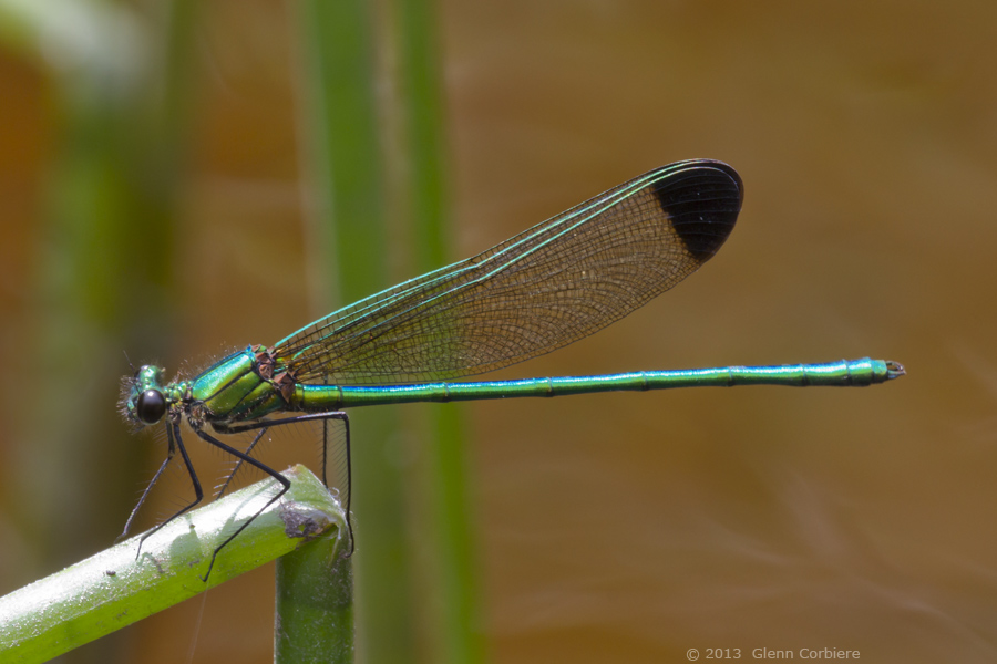 Calopteryx dimidiata (Sparkling Jewelwing), male