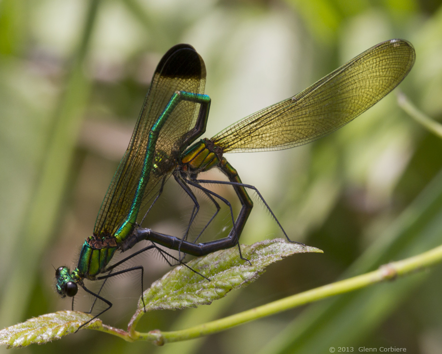Calopteryx dimidiata (Sparkling Jewelwing), mating pair