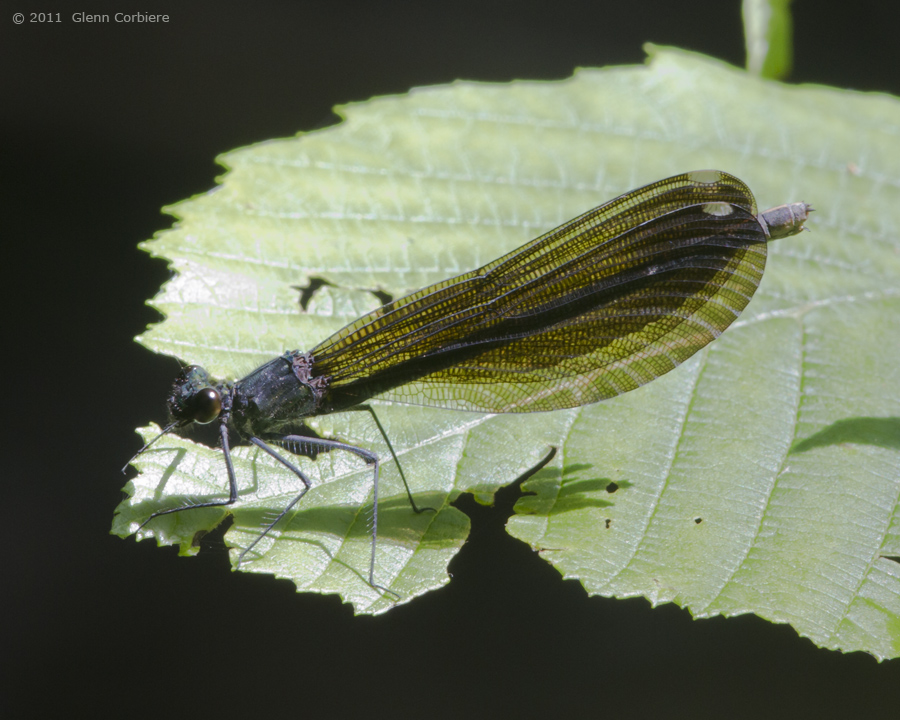 Calopteryx maculata (Ebony Jewelwing), female