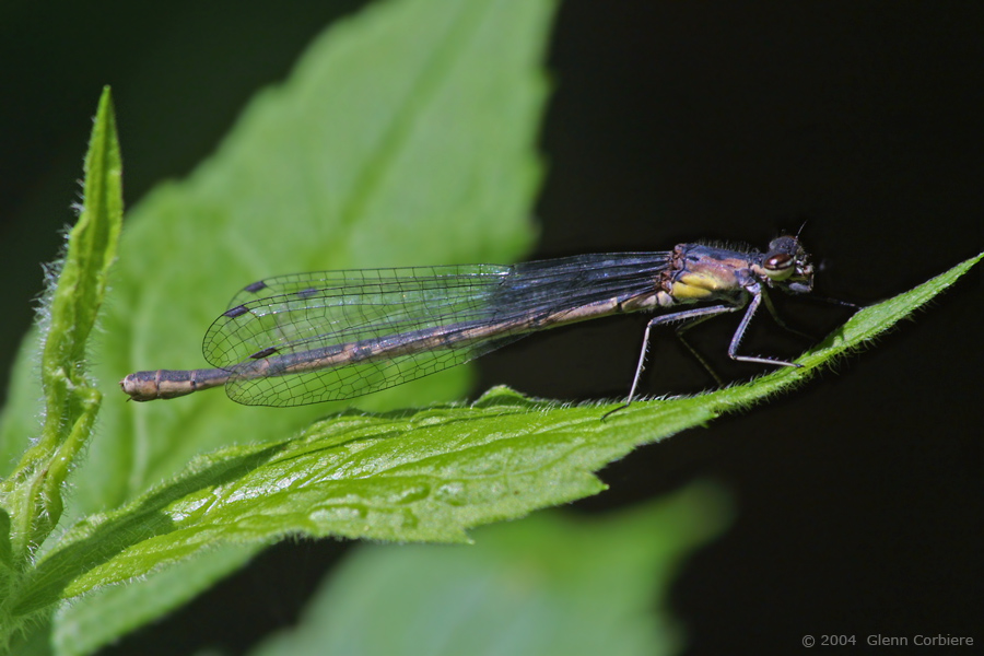 Chromagrion conditum (Aurora Damsel), female - brown form