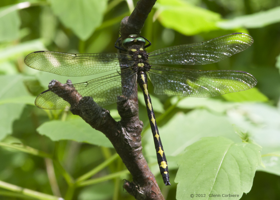 Cordulegastor Obliqua (Arrowhead Spiketail), male