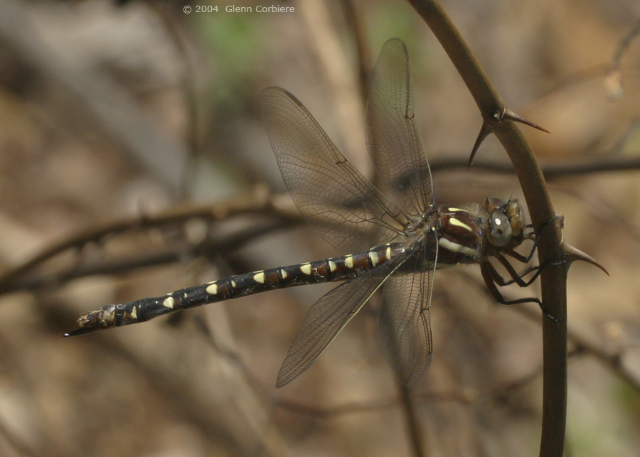 Cordulegaster maculata (Twin-spotted Spiketail), immature female