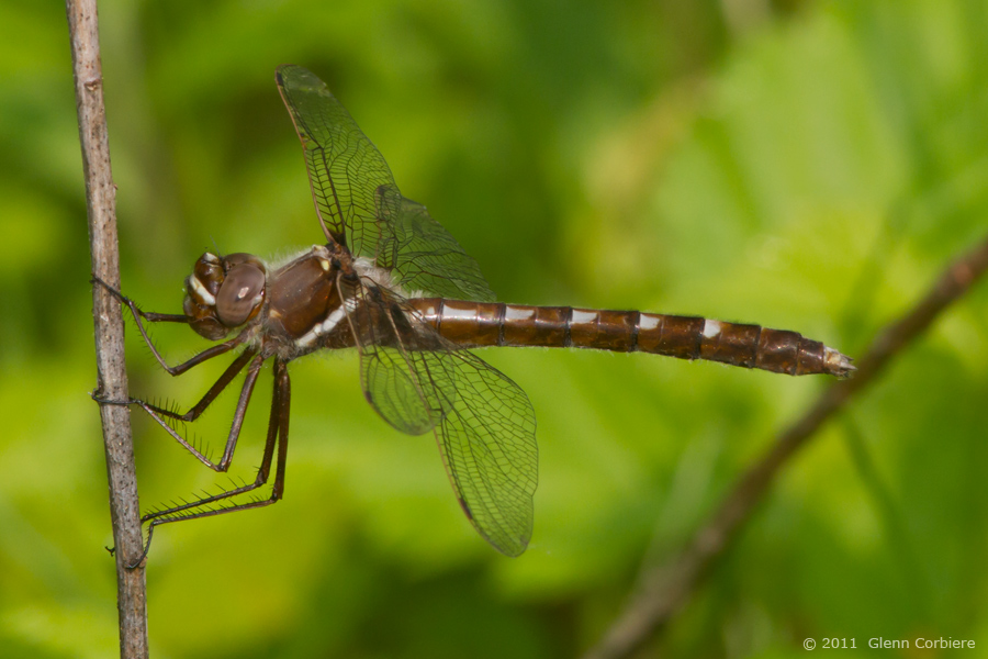 Didymops transversa (Stream Cruiser), female