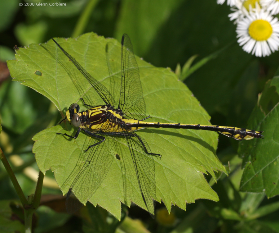 Dromogomphus spinosus (Black-shouldered Spinyleg), immature male
