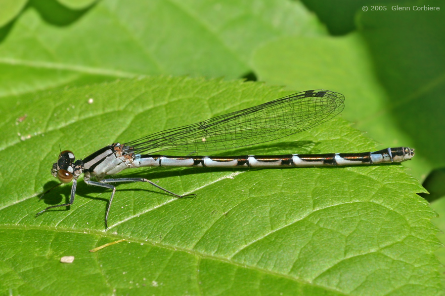 Enallagma boreale (Boreal Bluet), female