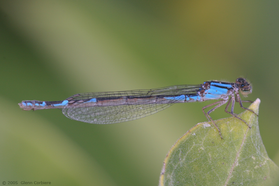 Enallagma caranculatum (Tule Bluet), female