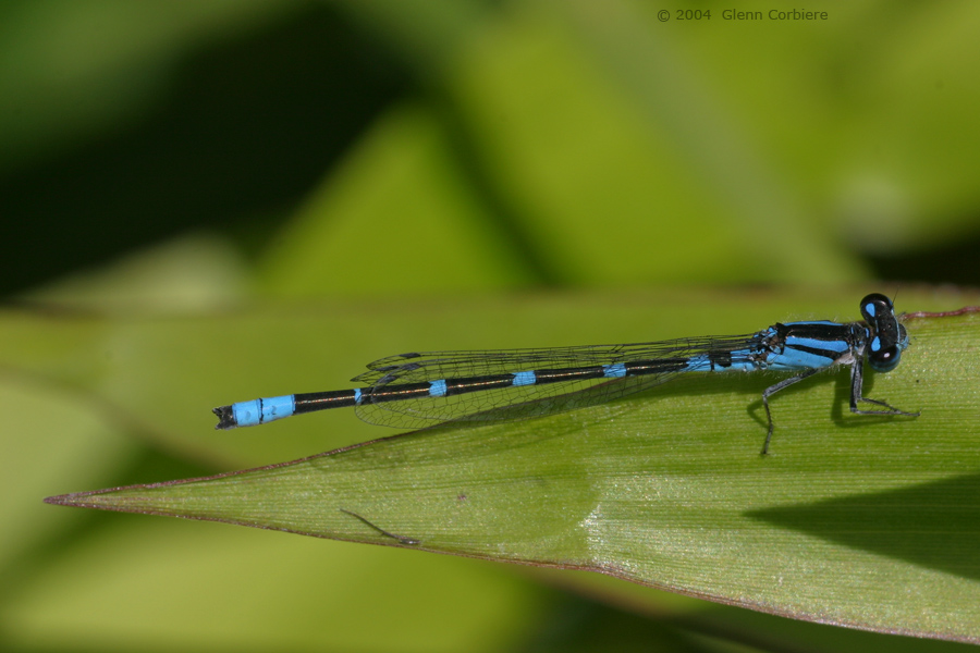 Enallagma caranculatum (Tule Bluet), male
