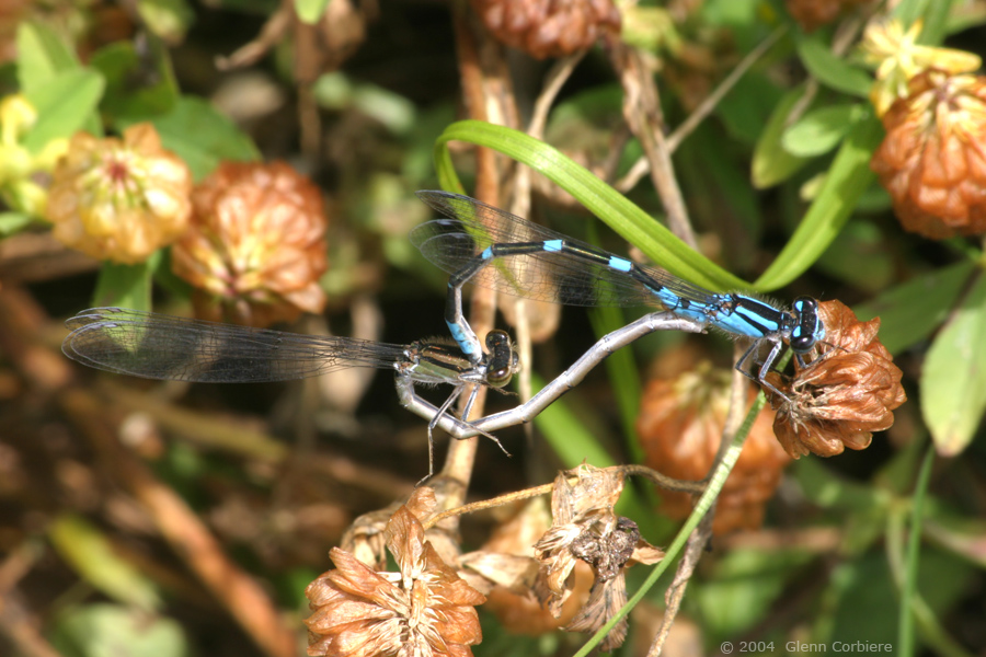 Enallagma caranculatum (Tule Bluet), pair
