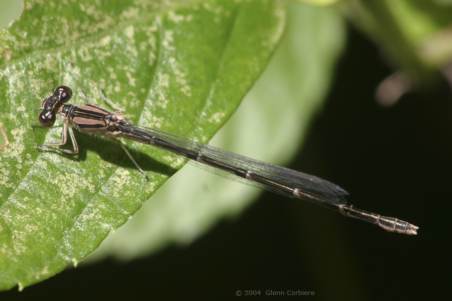 Enallagma civile (Familiar Bluet), female