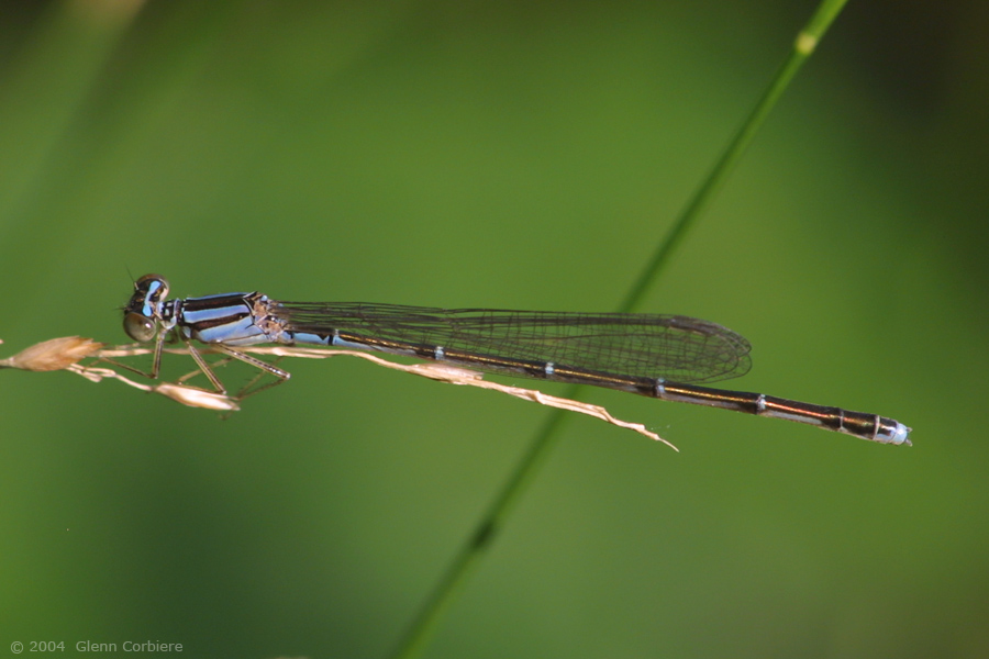 Enallagma signatum (Orange Bluet), blue form female