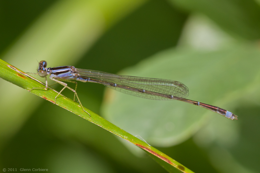 Enallagma signatum (Orange Bluet), male