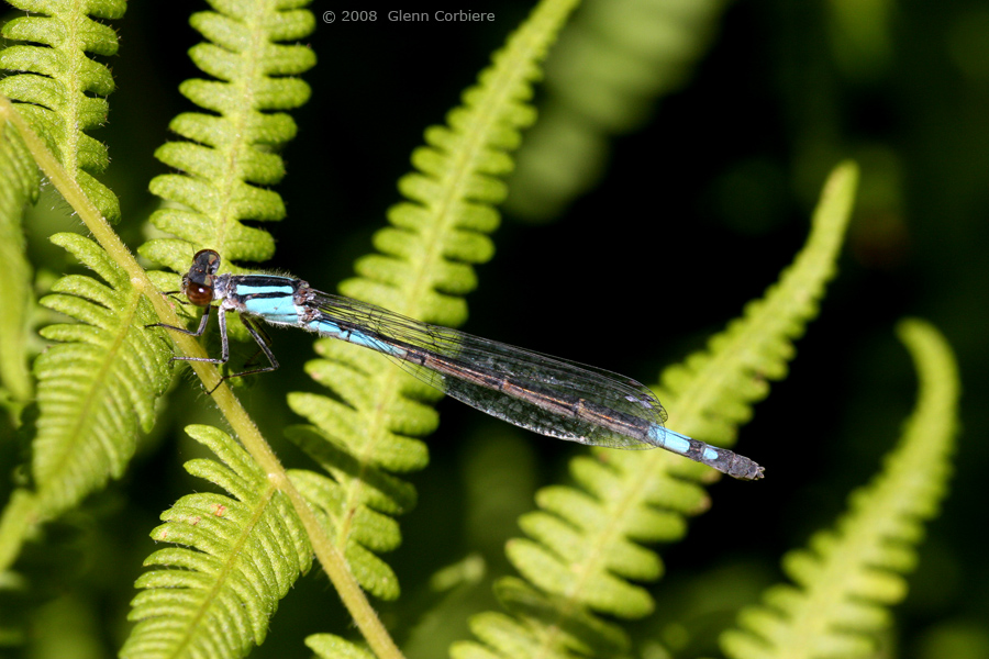 Enallagma aspersum (Azure Bluet), female
