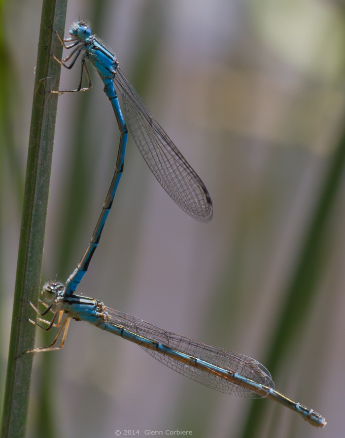 Enallagma durum (Big Bluet), tandem pair