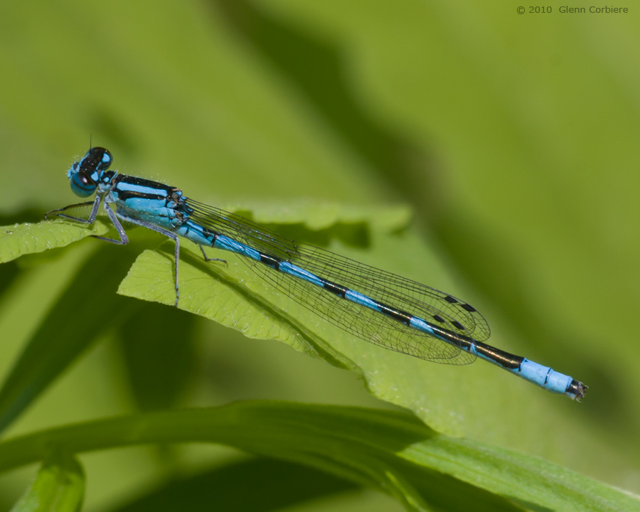 Enallagama ebrium (Marsh Bluet), male
