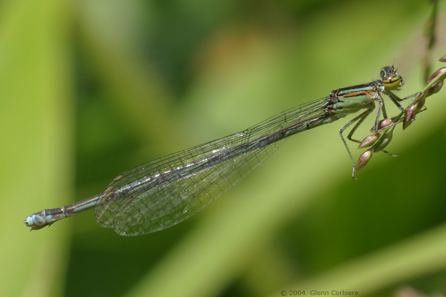 Enallagama exsulans (Stream Bluet), female