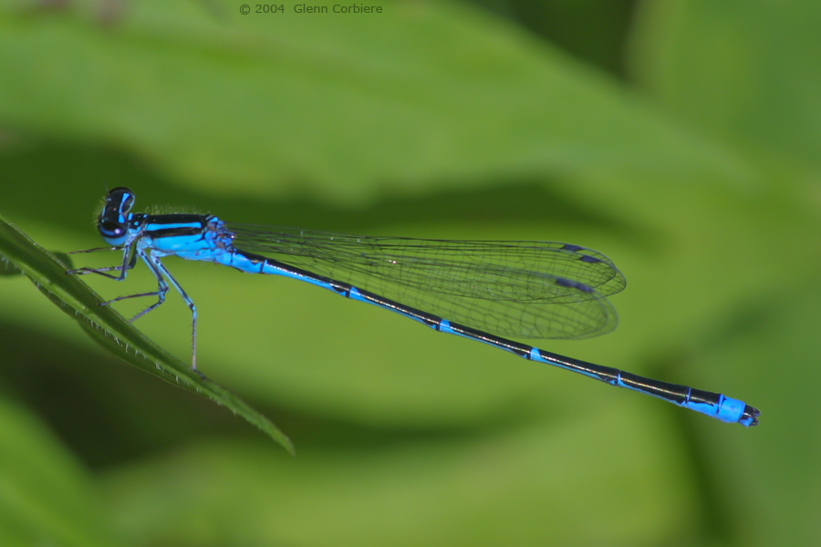 Enallagama exsulans (Stream Bluet), male