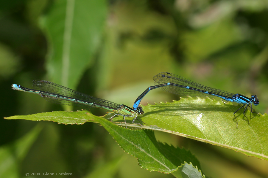 Enallagama exsulans (Stream Bluet), mating pair