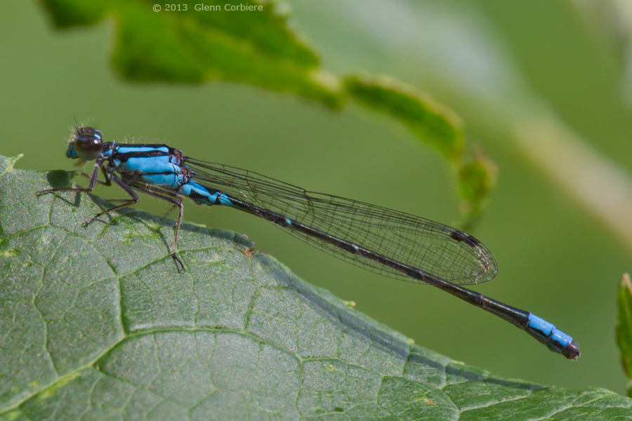 Enallagma geminatum (Skimming Bluet), male