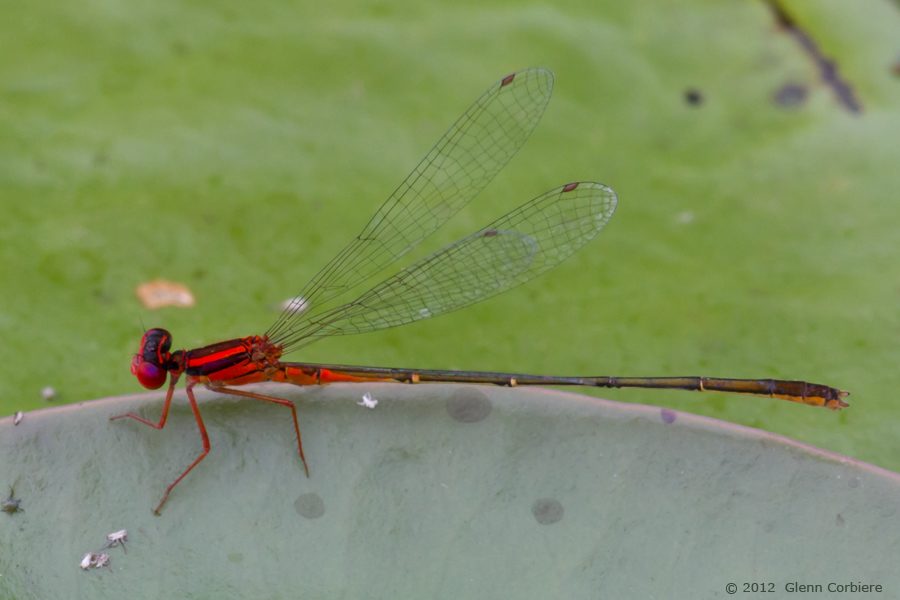 Enallagma pictum (Scarlet Bluet), male