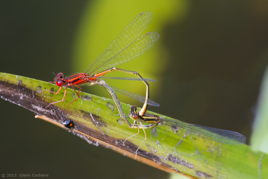 Enallagma pictum (Scarlet Bluet), mating pair