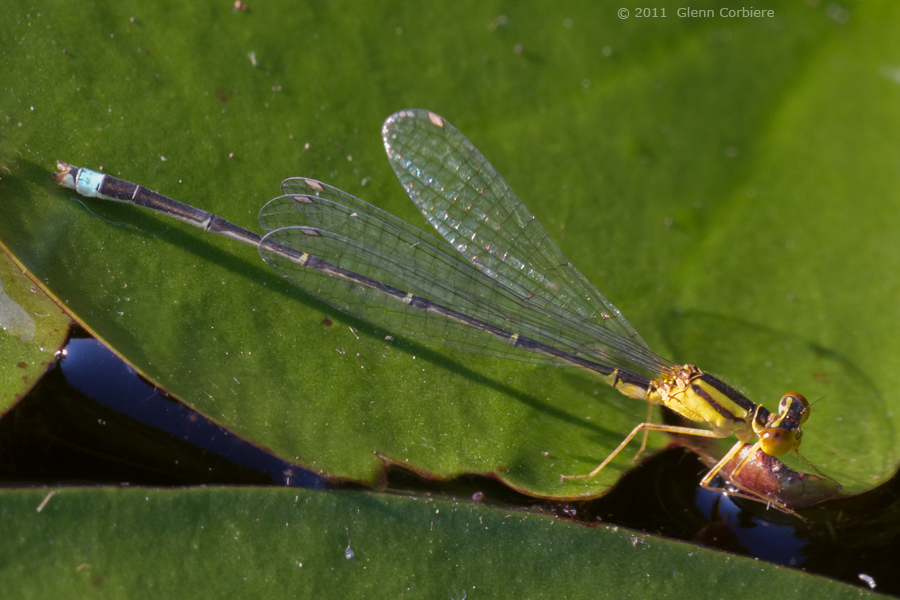 Enallagma vesperum (Vesper Bluet), male