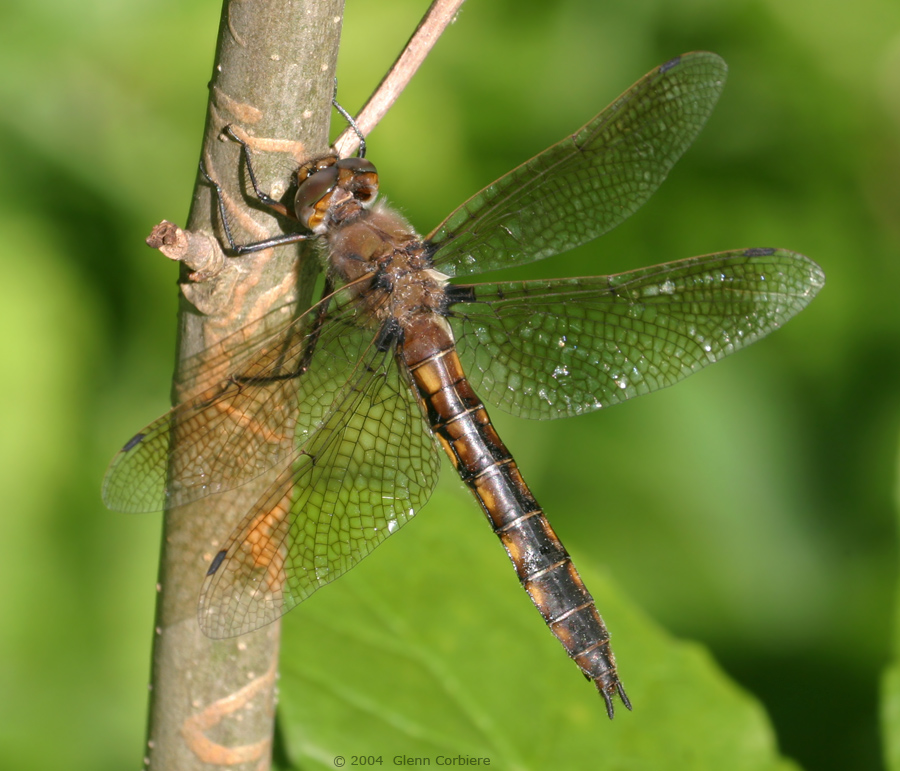 Epitheca canis (Beaverpond Baskettail), female