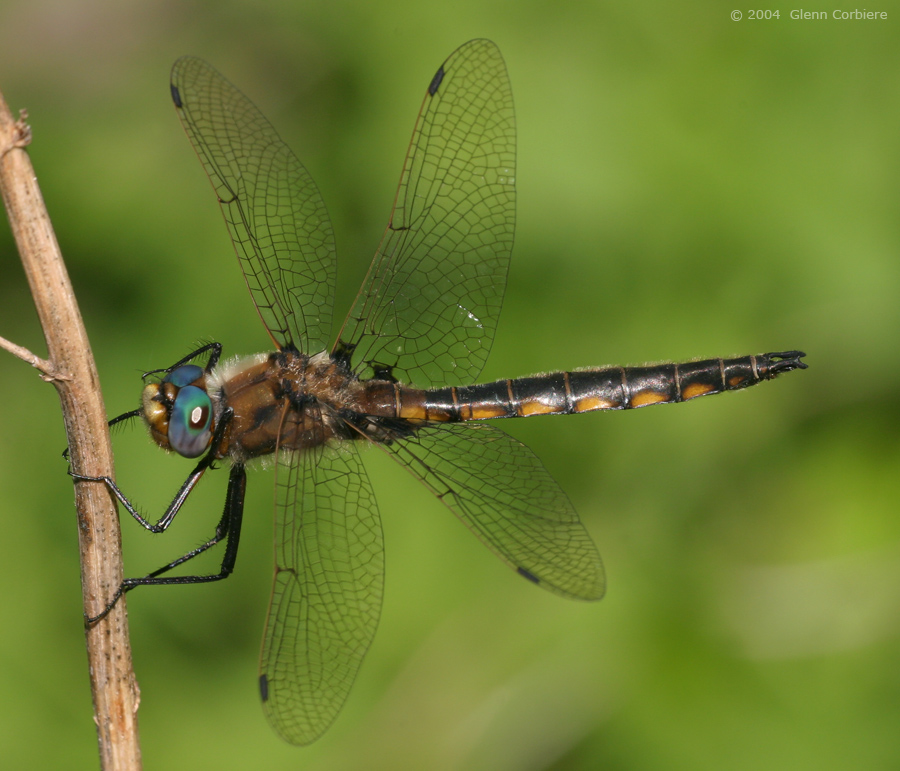 Epitheca canis (Beaverpond Baskettail), male