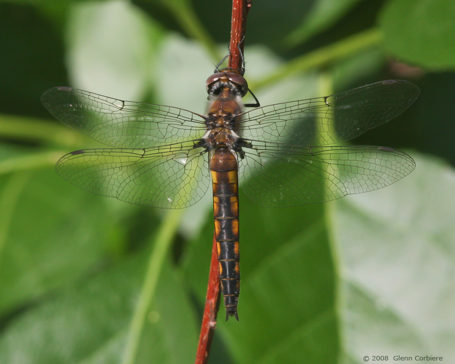 Epitheca cynosura (Common Baskettail), female