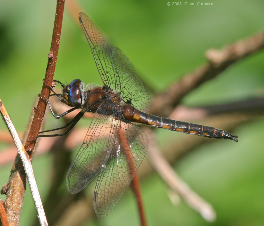 Epitheca cynosura (Common Baskettail), male