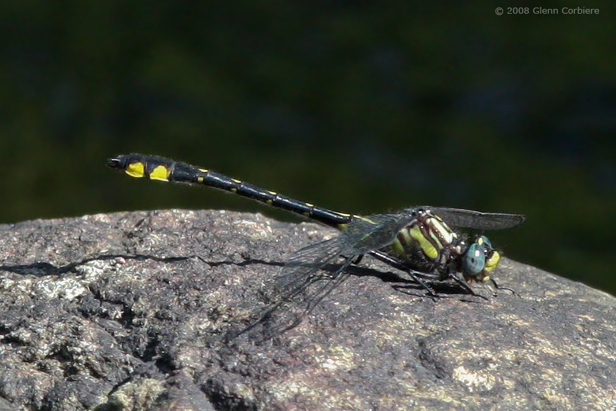 Gomphus abbreviatus (Spine-crowned Clubtail), male