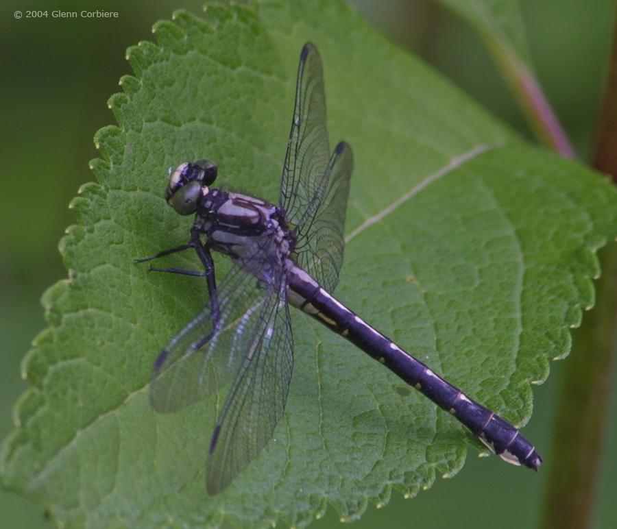 Gomphus adelphus (Mustached Clubtail), female