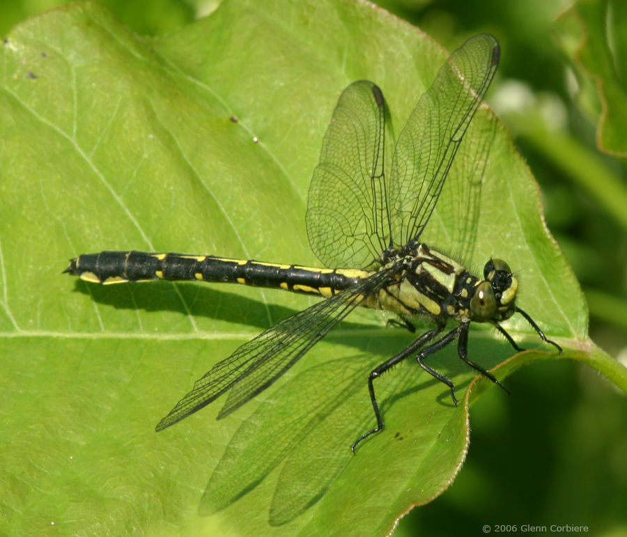 Gomphus adelphus (Mustached Clubtail), female 2